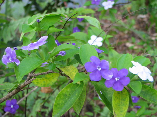 Early summer downunder: Brunfelsia latifolia - Yesterday, Today, Tomorrow  (Brunfelsia latifolia syn. bonodora)