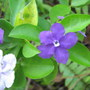 Early summer downunder:  Brunfelsia latifolia up close - Yesterday, Today, Tomorrow shrub (Brunfelsia latifolia syn. bonodora)