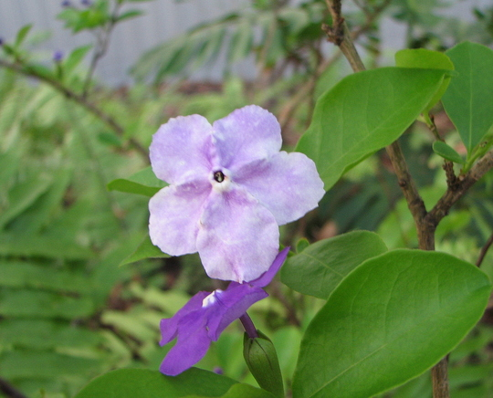Early summer downunder:  Brunfelsia latifolia - Yesterday, Today, Tomorrow  (Brunfelsia latifolia syn. bonodora)