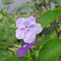 Brunfelsia_latifolia_syn._bonodora_yesterday_today_tomorrow_4