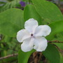 Brunfelsia_latifolia_syn._bonodora_yesterday_today_tomorrow_5