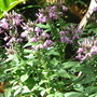Early summer downunder:  Cleome spinosa hybrid - 'Senorita Rosalita' (Cleome spinosa)