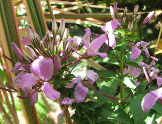Early summer downunder:  Cleome spinosa hybrid 'Senorita Rosalita' up close. (Cleome spinosa)