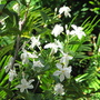 Early summer downunder: Wrightia antidysenterica 'Arctic Snow' (Wrightia antidysenterica 'Arctic Snow')