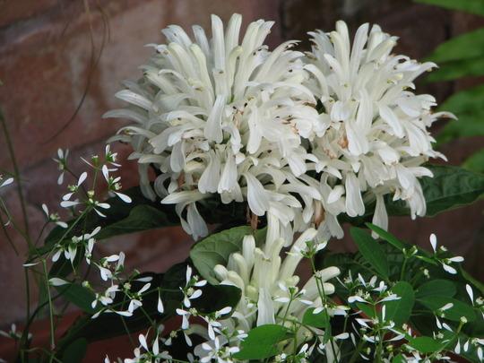 Early summer downunder:  Jacobinia carnea syn. Justicia carnea (Justicia carnea (Paradise Plant))