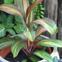 Cordyline_morning_sunshine_