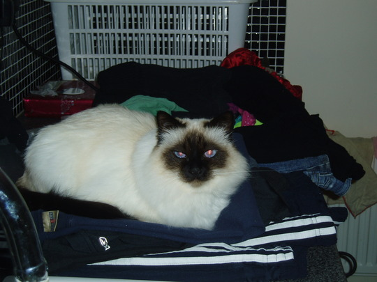 Symba helping with the ironing.