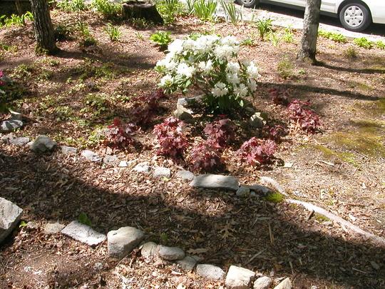 Rhododendron (Rhododendron macrophyllum (Bigleaf Rhododendron))