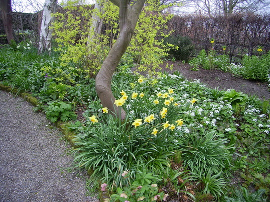 Daffodils at York Gate