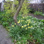 Daffodils at York Gate