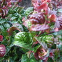 Leucothoe_axillaris_curly_red_