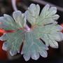 Hardy geranium leaf....