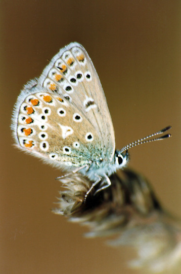 Common Blue close up