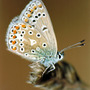 Common_blue_close_up_copy