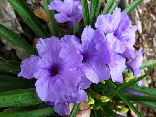Ruellia britoniana (Ruellia britoniana)