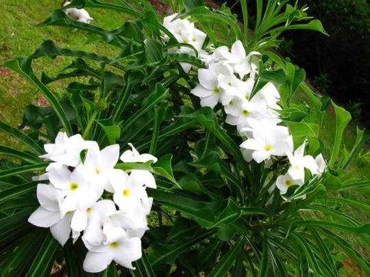 Plumeria pudica (Plumeria pudica dwarf evergreen shrub)