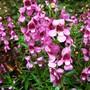 Angelonia serena pink[ summer snapdragon common name ] (Angelonia serena pink)