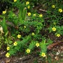 Turnera ulmifolia (Turnera ulmifolia)