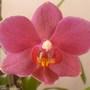 Close up Phalaenopsis (Orchid)