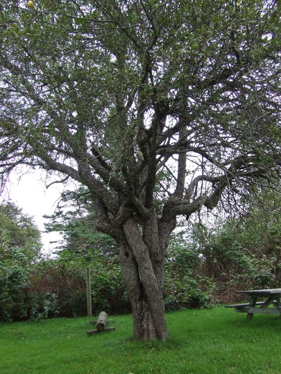 Old apples trees