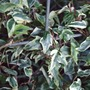 Hedera helix 'Little Diamond' - for Louise (Hedera helix (English ivy))
