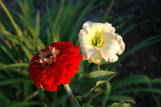 Two Companions (Hemerocallis)