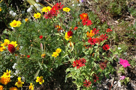 Front-of-Border Annuals