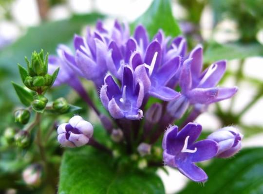 "Pentas lanceolata ""BLUE""  a new colour (Pentas lanceolata ""BLUE"")"