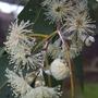 Eucalyptus Flower. (Eucalyptus globulus (Blue Gum))