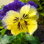 Another pansy to brighten the winter gloom