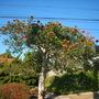 Spathodea campanulata - African Tulip Tree  (Spathodea campanulata - African Tulip Tree)