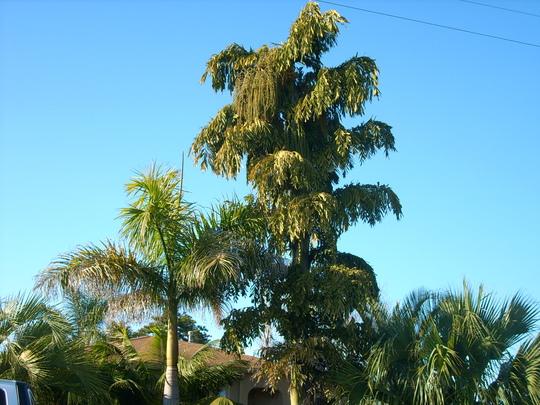 Roystonea regia - Royal Palm and Caryota urens - Fishtail Palm (Roystonea regia - Royal Palm and Caryota urens - Fishtail Palm)