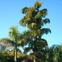 Roystonea regia - Royal Palm and Caryota urens - Fishtail Palm (Roystonea regia - Royal Palm and Caryota urens - Fishtail Palm)