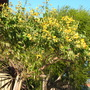 Cassia spendida - Golden Wonder Tree (Cassia spendida - Golden Wonder Tree)
