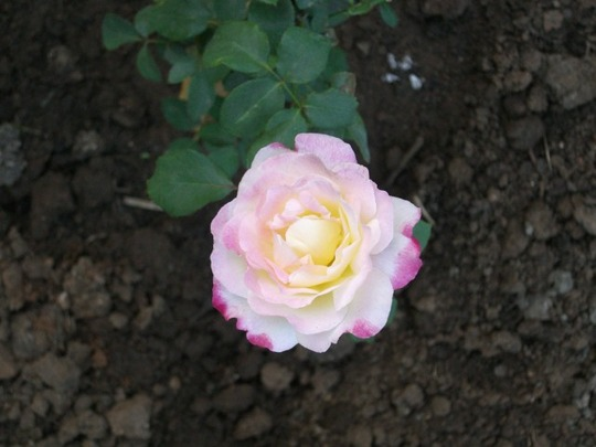 rose double shade