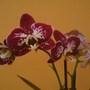 Phalaenopsis (noid) (Orchid)