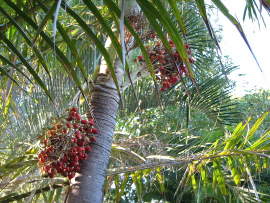 Summer colour downunder: Adonidia merrillii  - Christmas palm showing its fruit (adonidia merrillii)