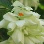 Summer colour downunder:  Mussaenda philippica  (Mussaenda Philippica 'Aurorae')