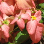 Summer colour downunder:  Mussaenda philippica - Bangkok Rose up close (Mussaenda philippica 'Bangkok Rose')