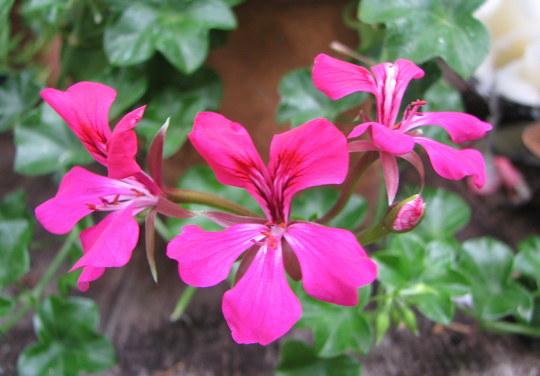 Summer colour downunder:  Pelargonium peltatum (Pelargonium peltatum (Hanging Geranium))
