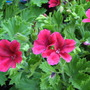 Summer colour downunder: Pelargonium x domesticum (Pelargonium x domesticum)