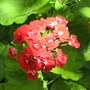 Summer colour downunder:  Zonal Pelargonium - Rosebud (Pelargonium x hortorum)