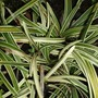 Ophiopogon planiscapus (Lilyturf)