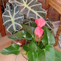 Alocasia and Anthurium