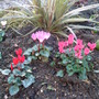 Cyclamen and Astelia