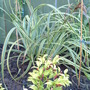 "Carex trifida ""Rekohn Sunrise"""