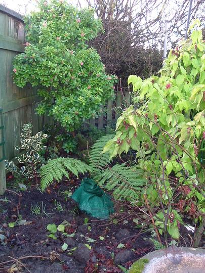 Tree fern; holly;escalonia; etc.,