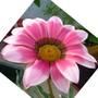 "Gallardia ""Daybreak Rose"""