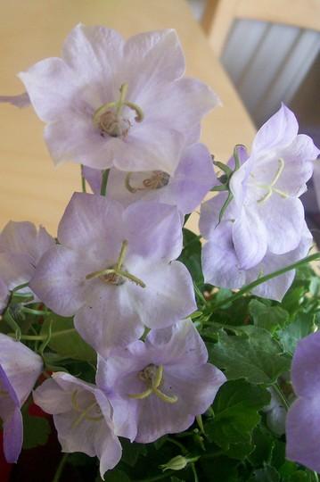 camp2.jpg (Campanula carpatica (Bellflower))