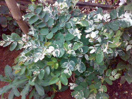 snow bush (breynia nivosa)